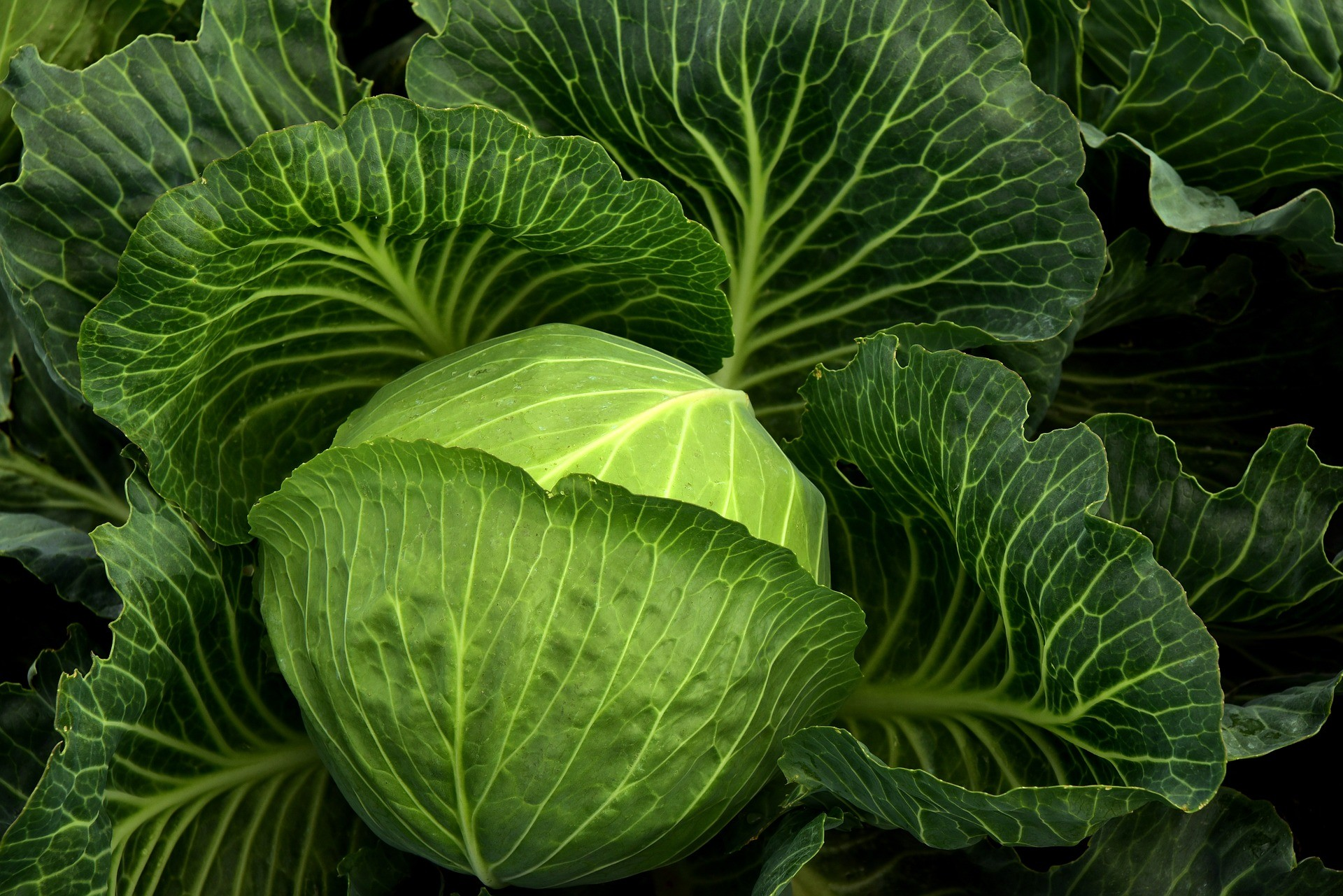 cabbage-3722498_1920